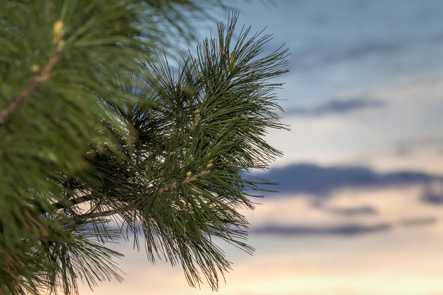 Pine needles at sunset
