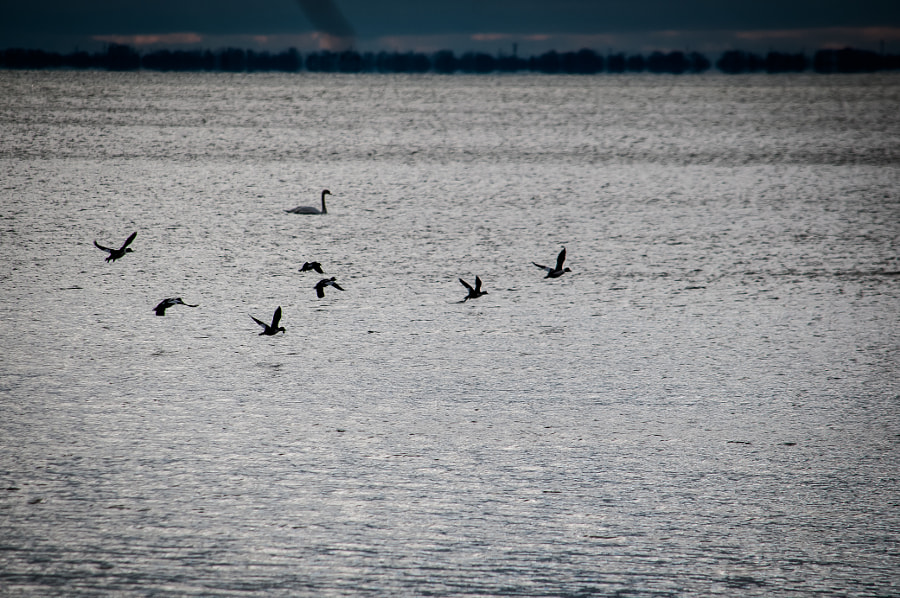 Geese and swan in Lake St. Clair in a milder-than-usual December.
