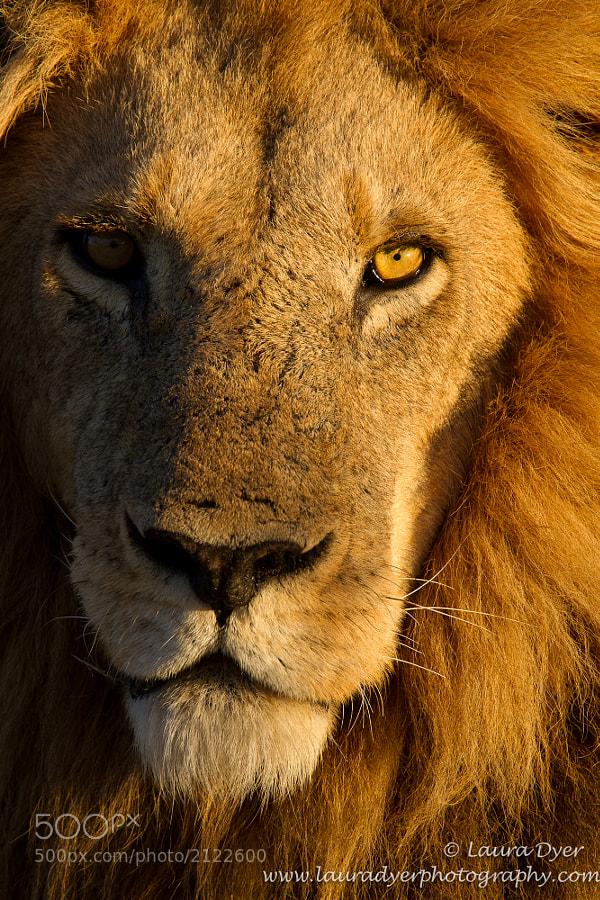 Male lion taken on Chiefs Island in the Okavango Delta.