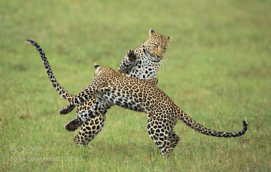 Photograph Dancing Leopards by Marlon du Toit on 500px
