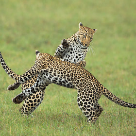 Dancing Leopards by Marlon du Toit (marlondutoit)) on 500px.com