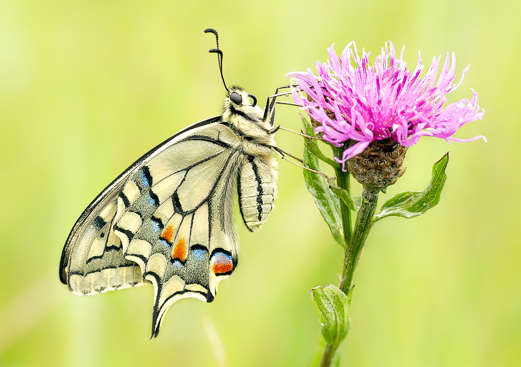 Photograph Swallowtail  by Heinz Maier on 500px
