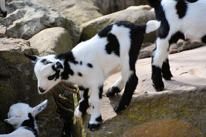 Goats Goats Goats