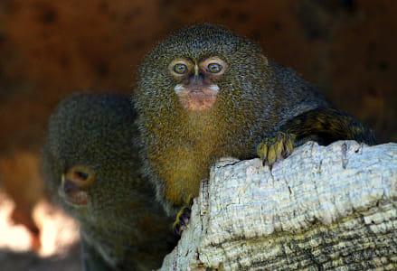 Pair of pygmy marmoset