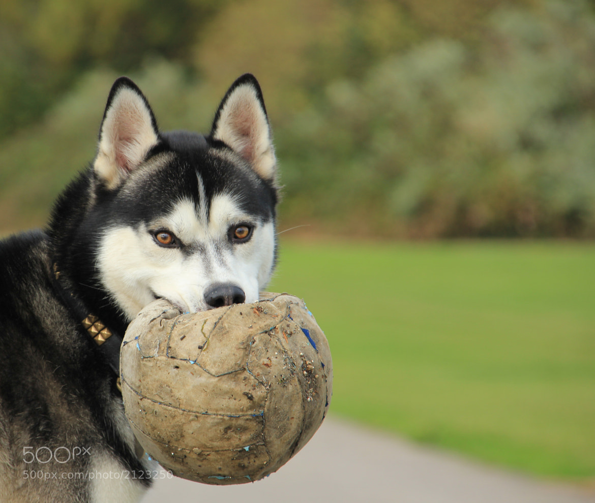 Photograph Husky by Peter Murphy on 500px