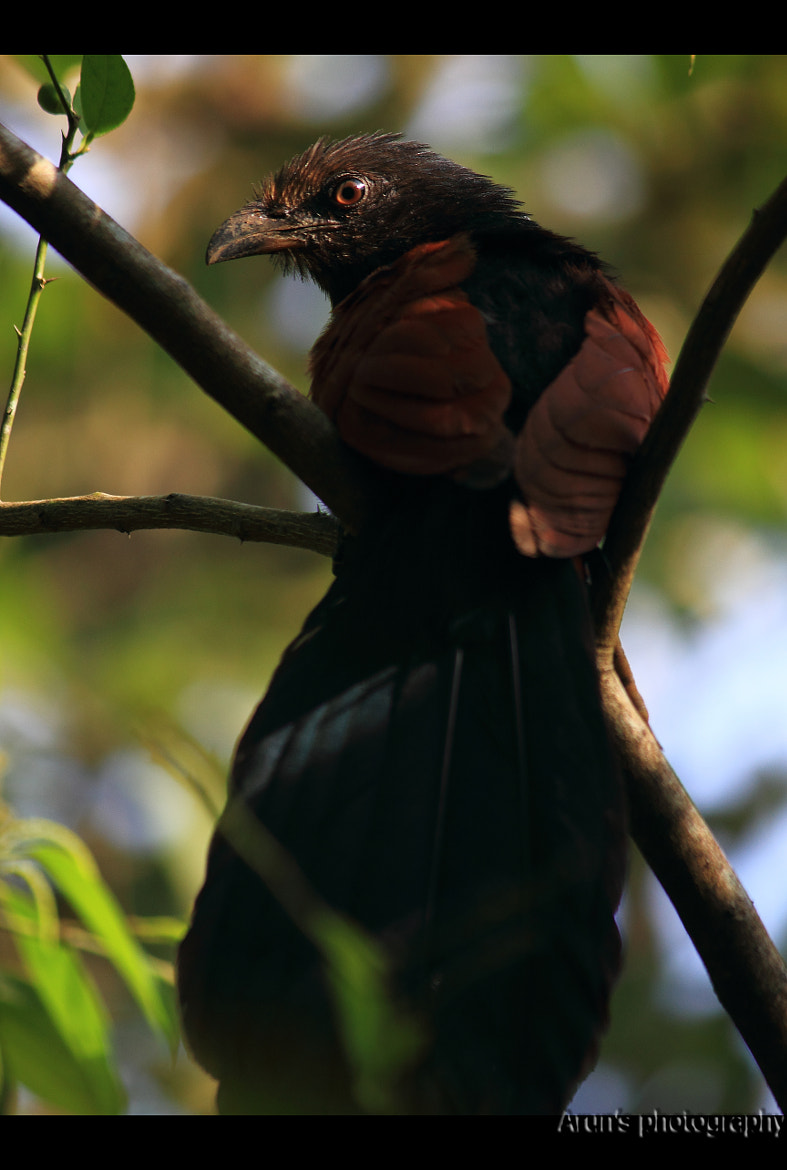 Photograph Crow-pheasant or Coucal is a clumsy (uppan) by Arun P. Nair on 500px