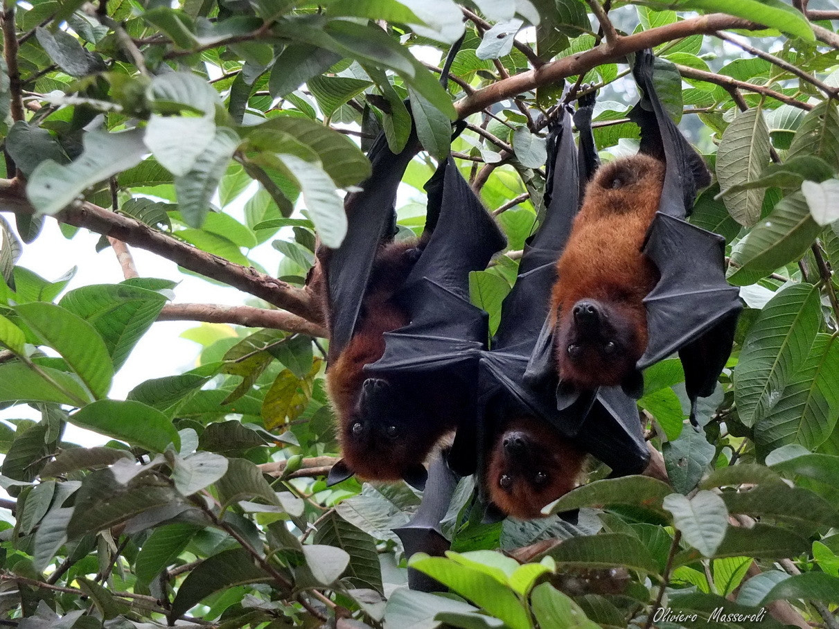 Photograph Gigantus Bats - Bangladesh by Oliviero Masseroli on 500px