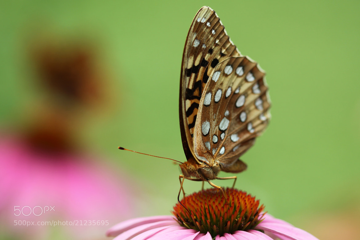 Photograph The Great Spangled Fritillary by Kenneth  Maurer on 500px