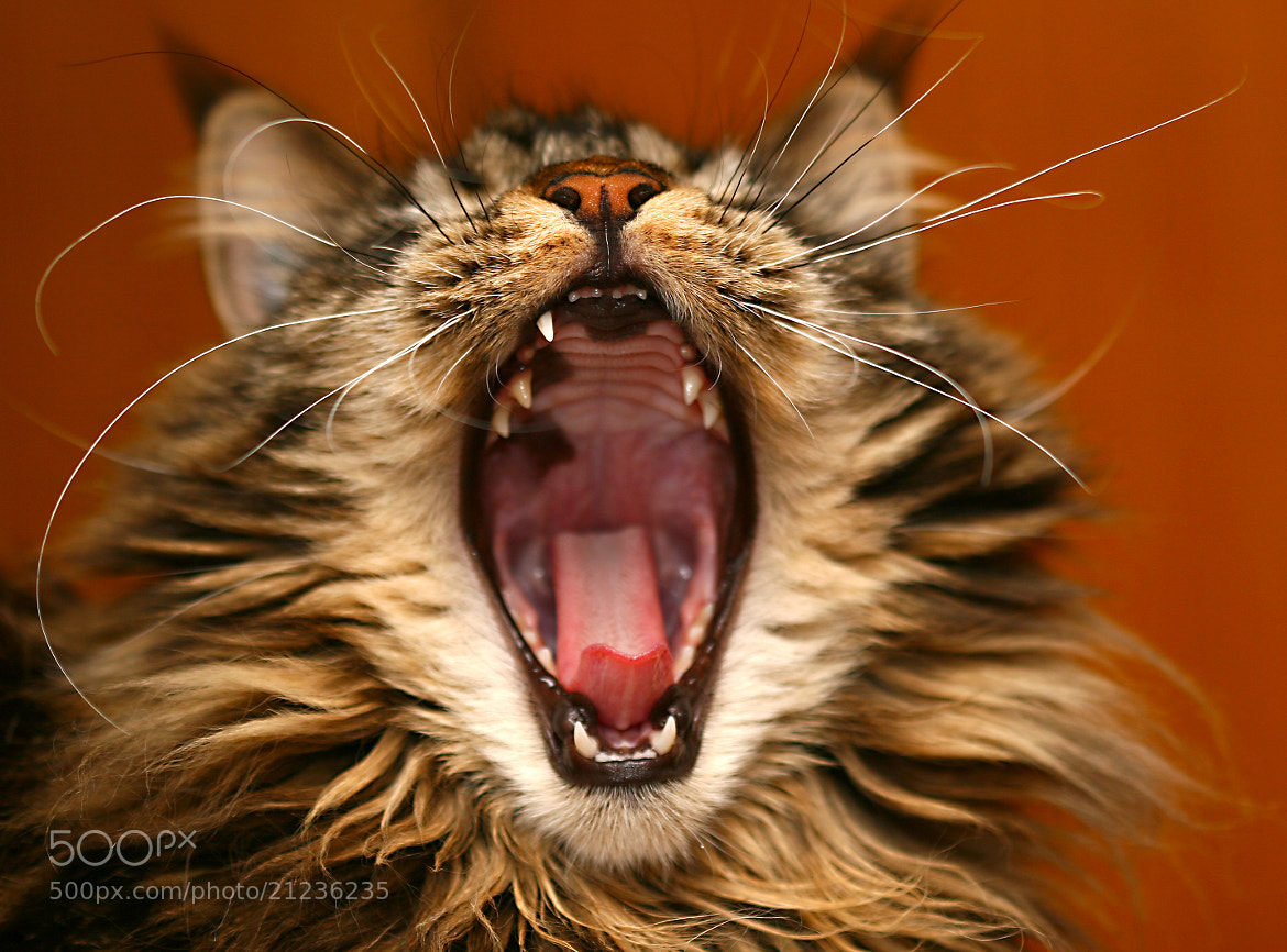 Photograph Main Coon - Yanthi - mouse-place by Thomas Laines Heizmann on 500px