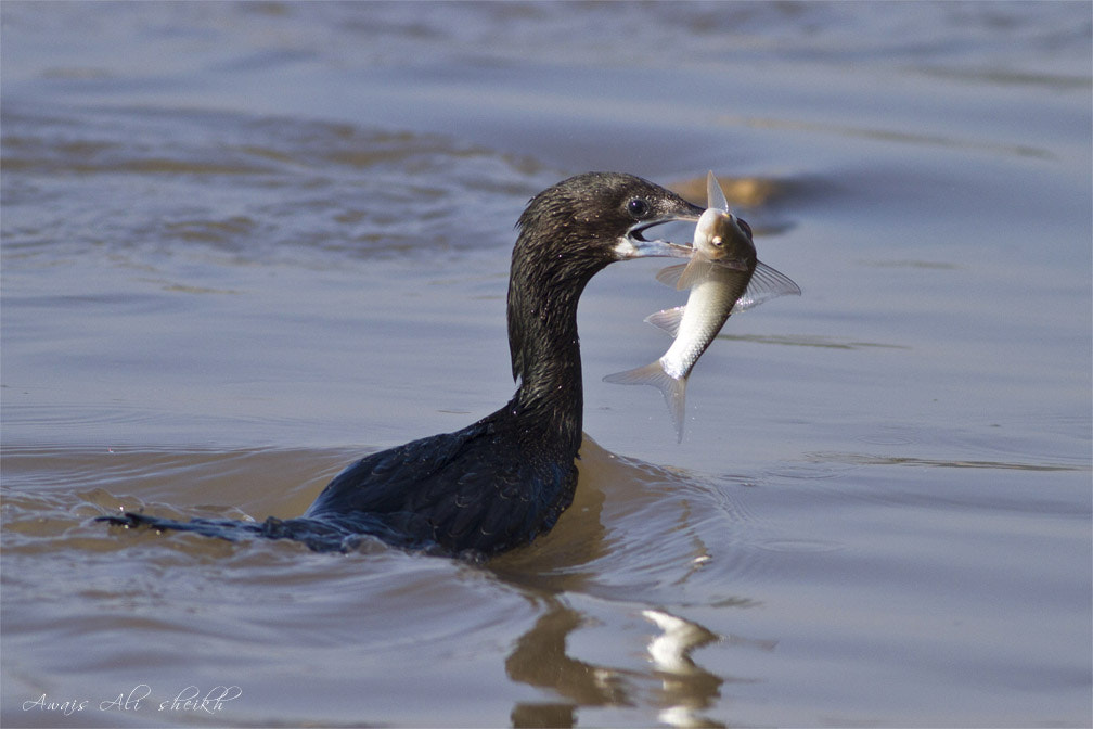 Photograph Great Cormorant by AWAIS ALI SHEIKH on 500px