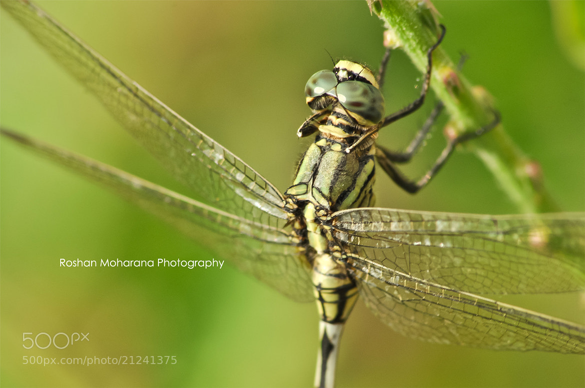 Photograph Dragonfly by Roshan Moharana on 500px