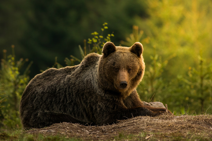 Brown bear by Richard Krchnak on 500px.com