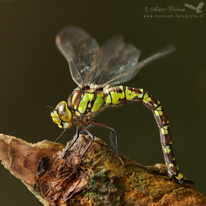 Photograph Southern Hawker by Aldert Verboom on 500px
