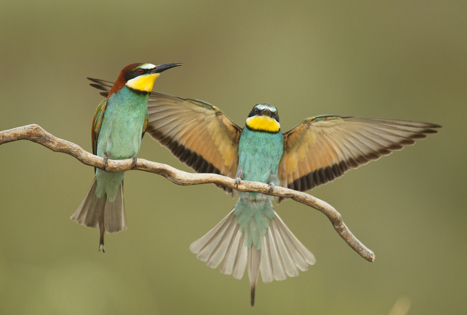 Photograph Bee Eaters by Bogdan Boev on 500px