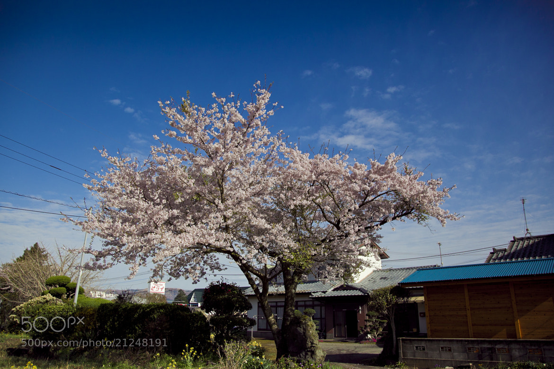 Photograph Sakura flower by Hanson Mao on 500px