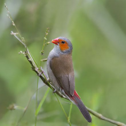 Orange-cheeked Waxbill