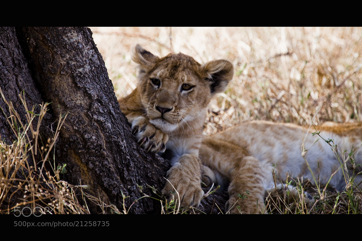 Photograph Simba :) by Victor Borst on 500px