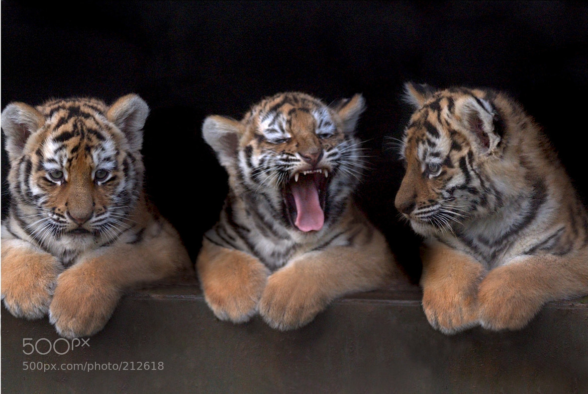 Photograph Amur Tiger Triplets, UK by Chris Balcombe on 500px