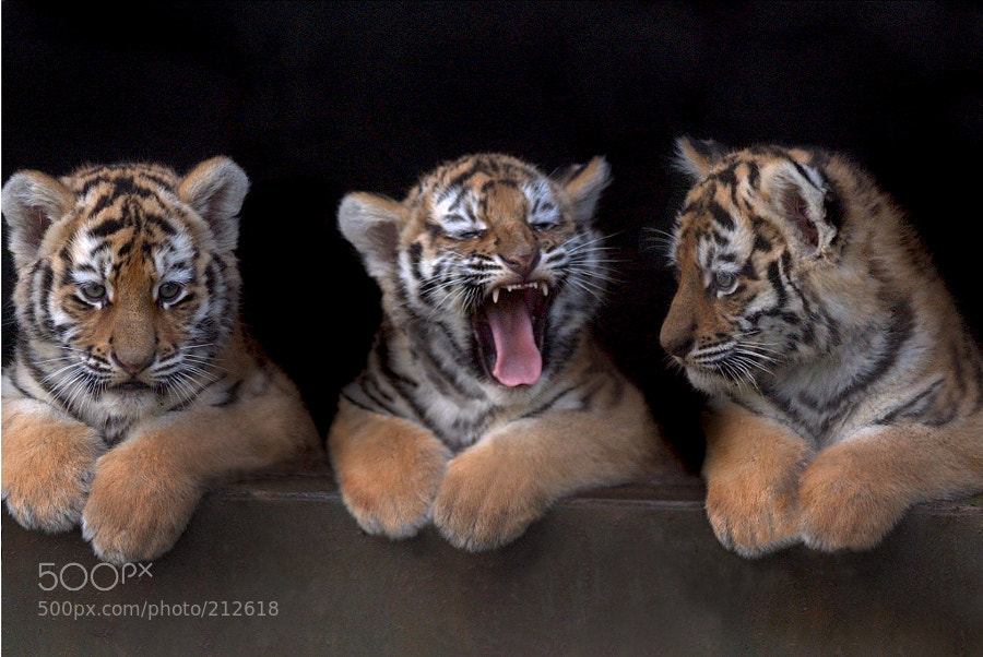Photograph Amur Tiger Triplets, UK by Chris Balcombe