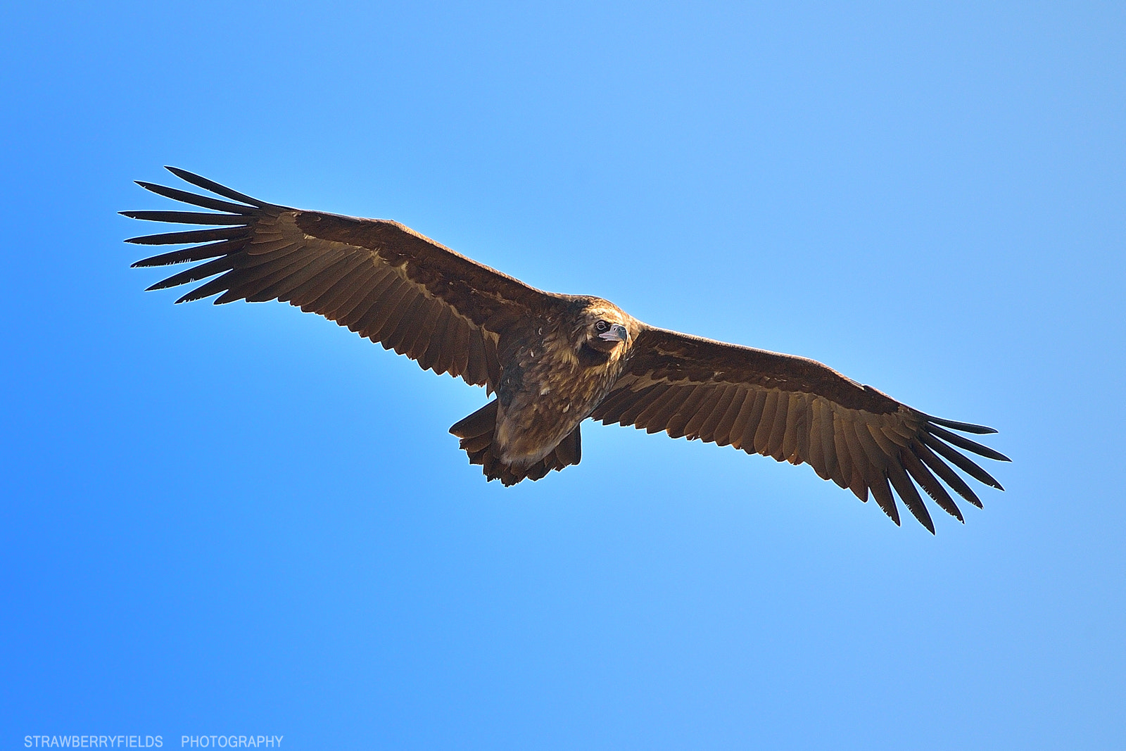 Photograph Cinereous Vulture by Jung-Rae Cho on 500px