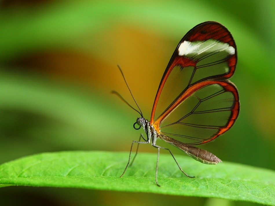 Photograph Glass wing butterfly by Tomas Rak on 500px