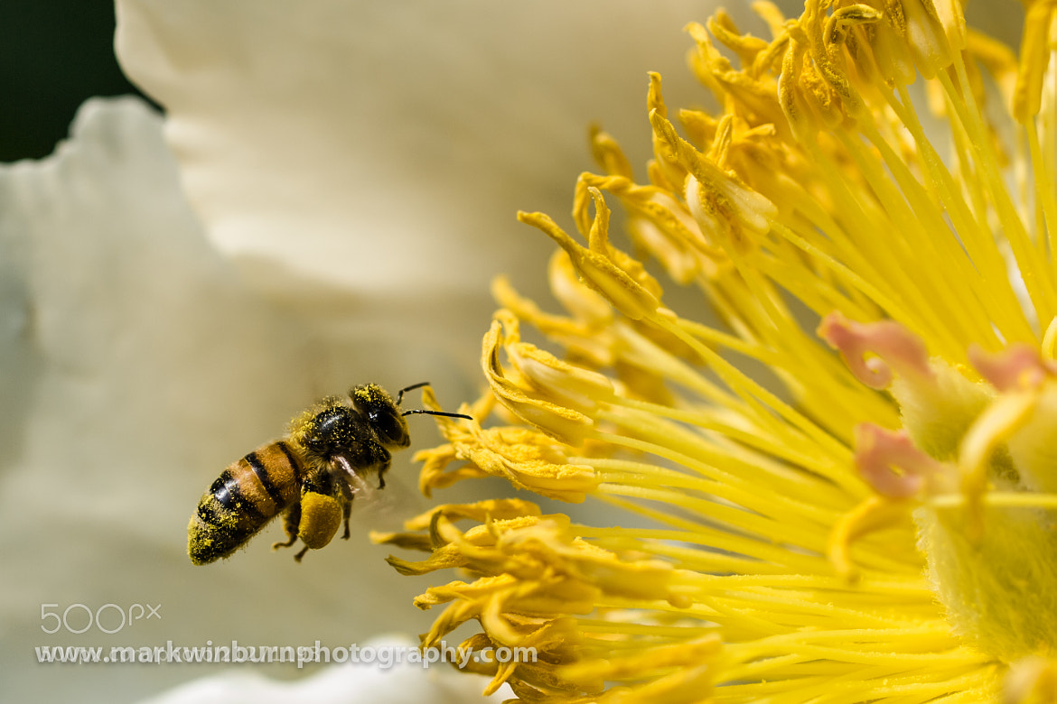Photograph Loaded down with pollen by Mark Winburn on 500px