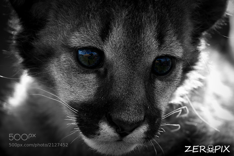 Photograph Baby Puma by ZeroPix Photography on 500px