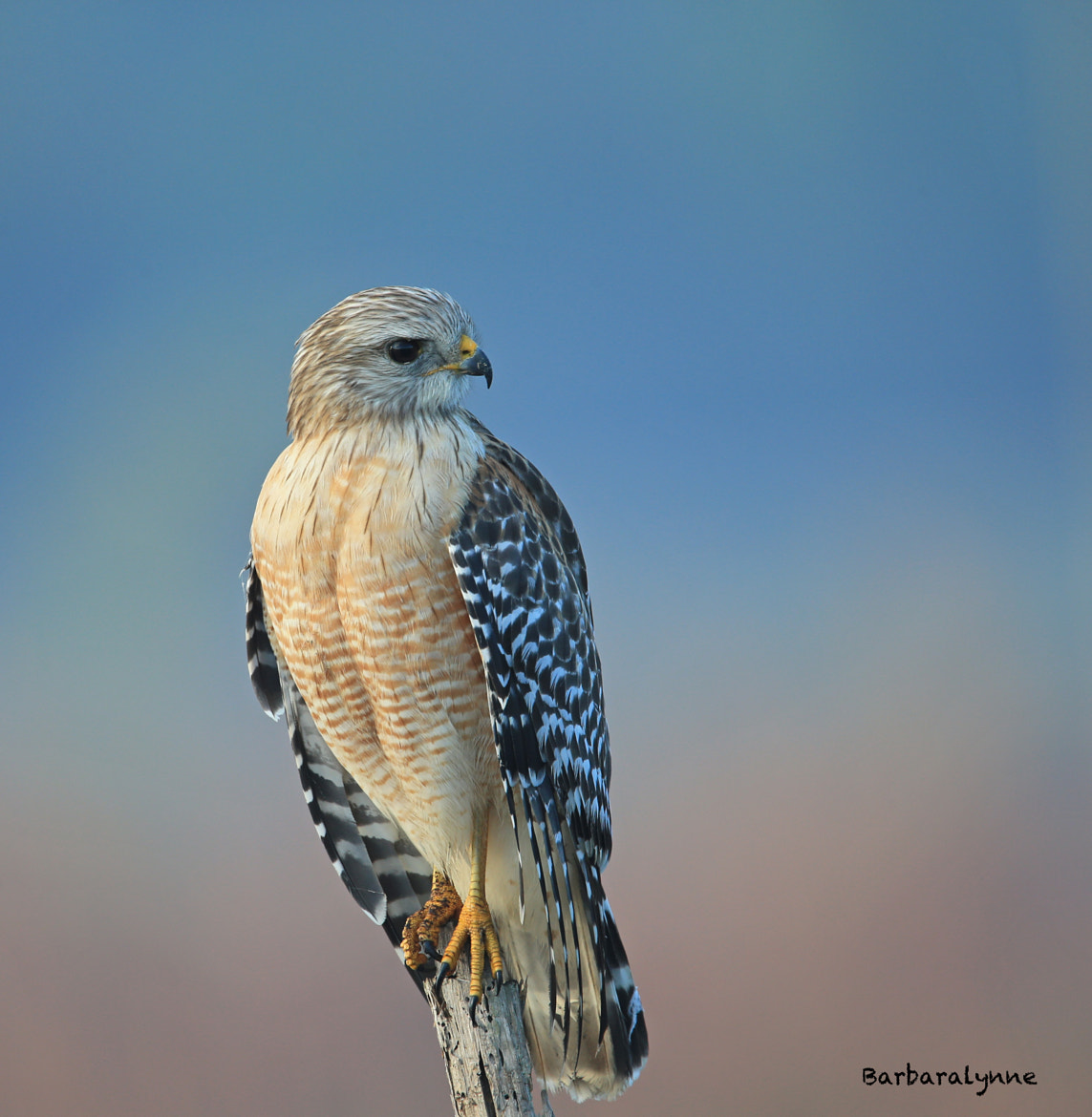 Photograph Red Shouldered Hawk by Barb D'Arpino on 500px
