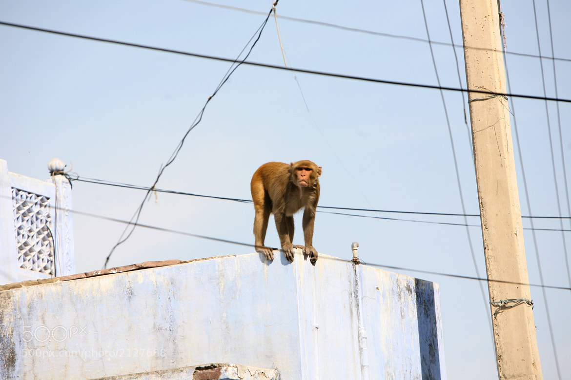 Photograph Urban Monkey by Andrea Gherardi on 500px
