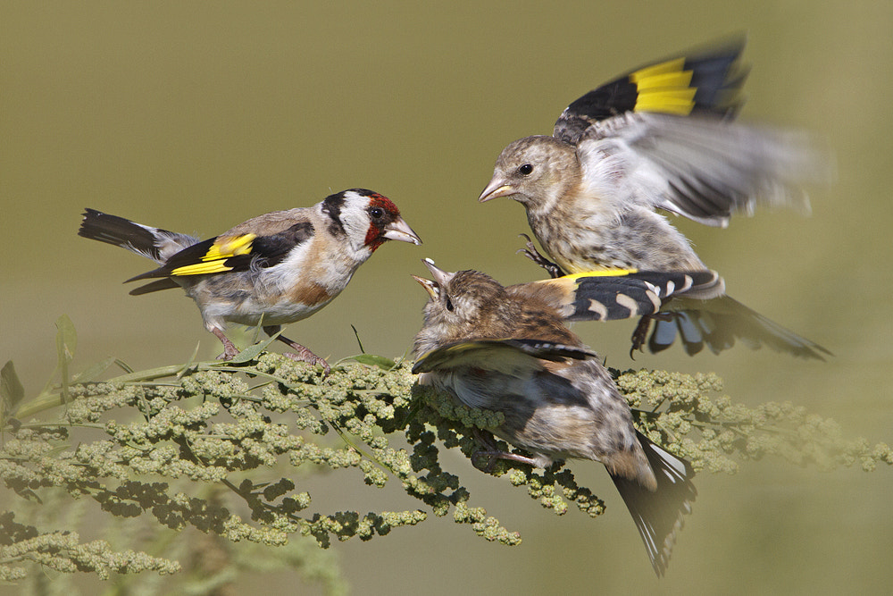 Photograph Goldfinch by Jan Westerhof on 500px