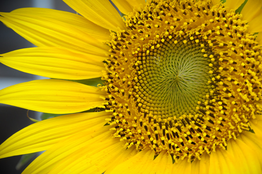 Sunflower perfection