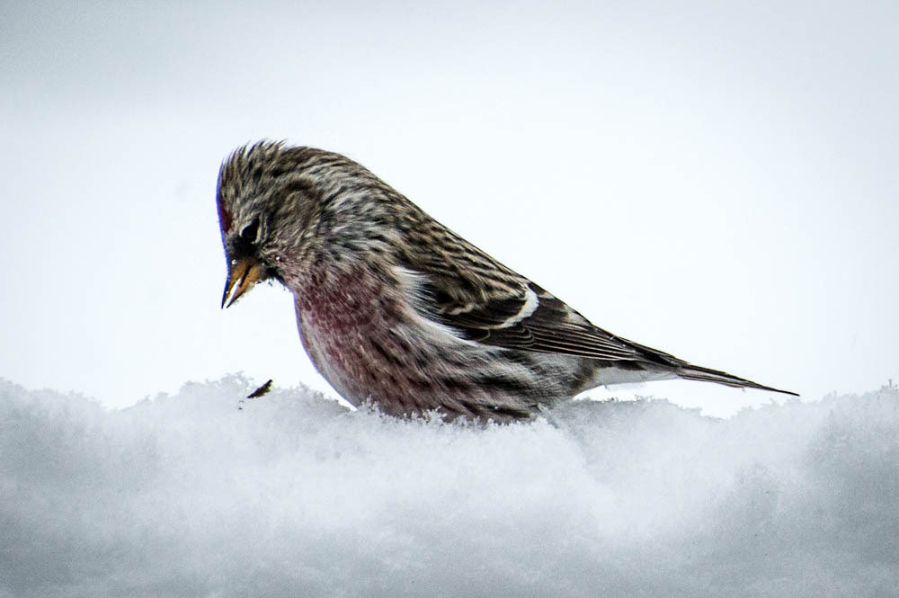 Photograph red poll christmas visit by Lylis Designs on 500px