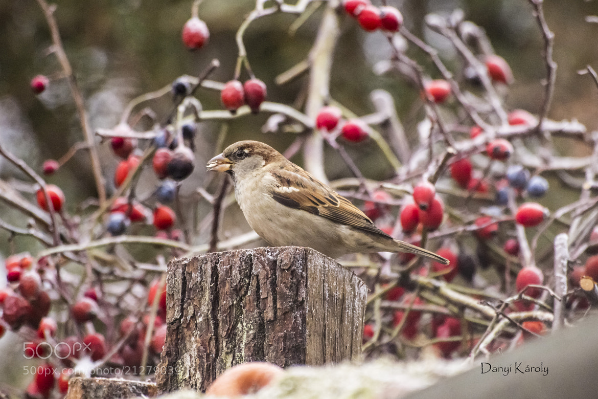 Photograph Sparrow by Károly Danyi on 500px