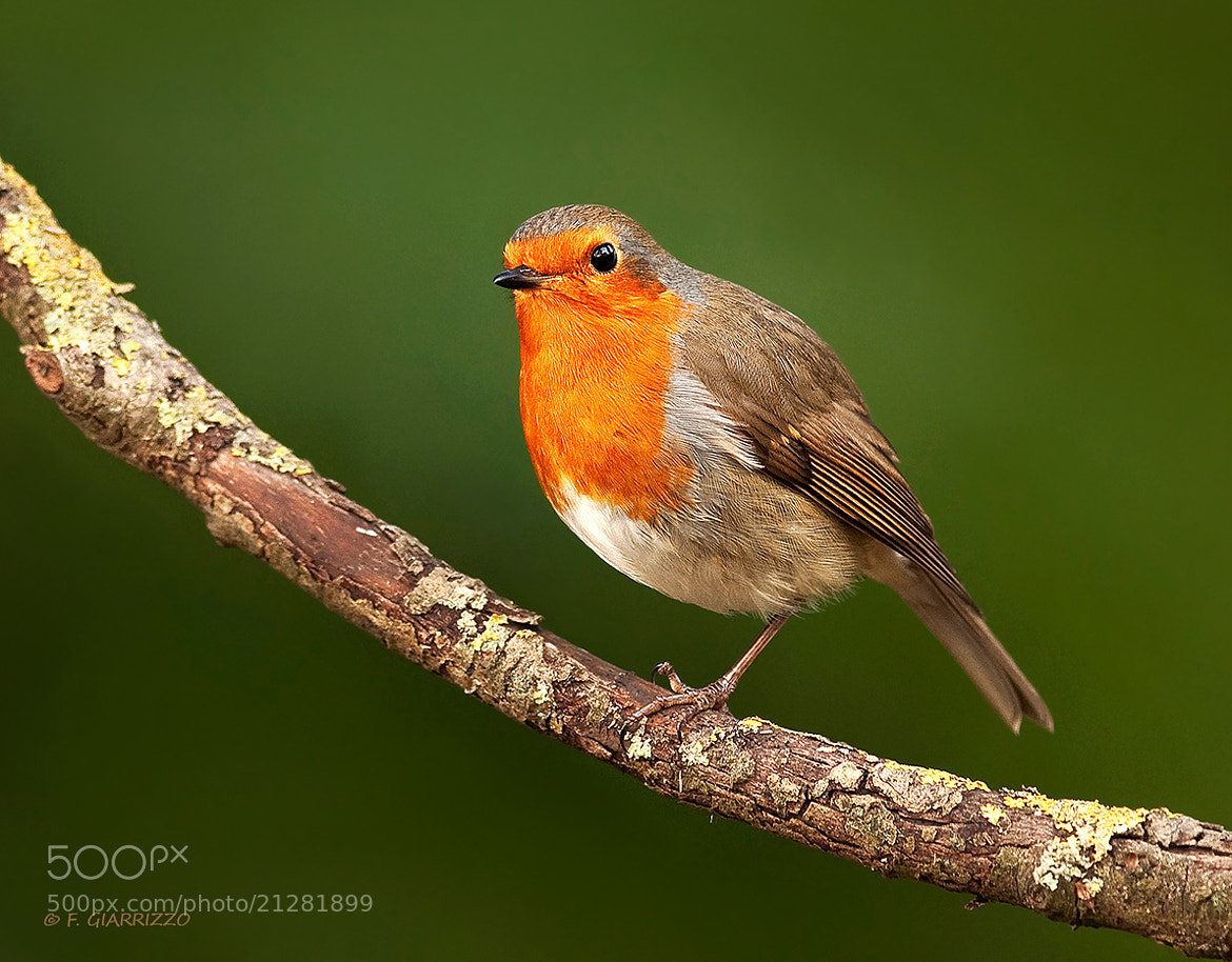 Photograph The unsteady robin by Fabio Giarrizzo on 500px