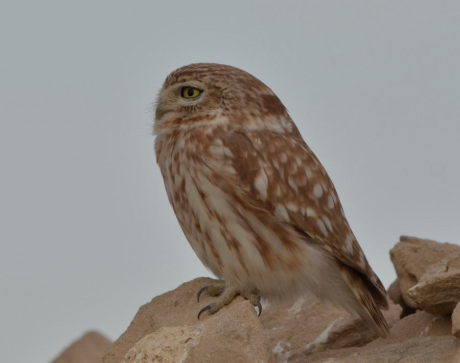 Photograph Little owl fact file by MOHAMED ALMAZROUEI on 500px