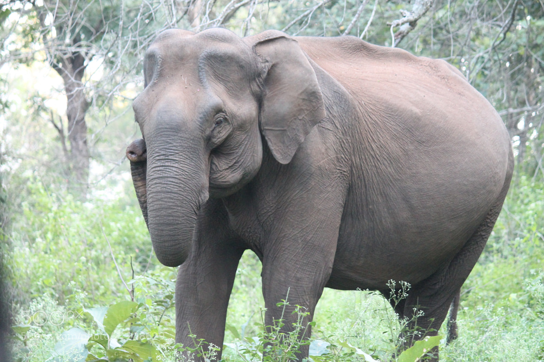 Photograph An old elephant.. by Sahil Miglani on 500px