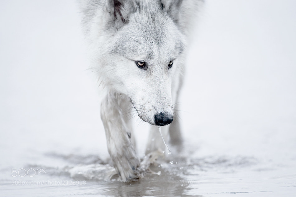 Photograph wolf by shlomi nissim on 500px