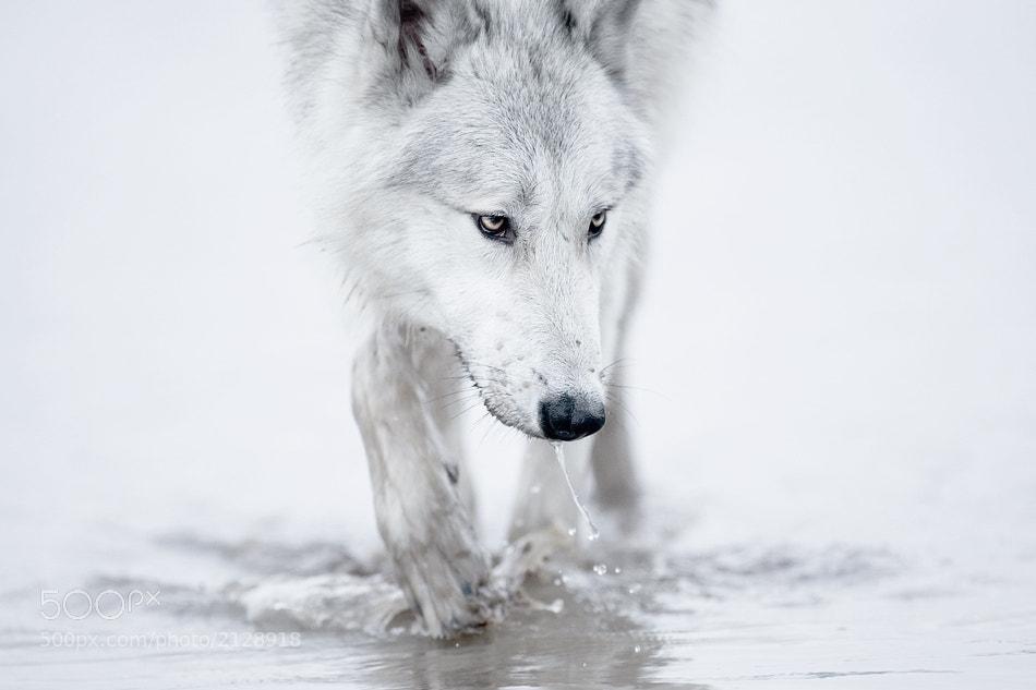 Photograph wolf by shlomi nissim on 500px