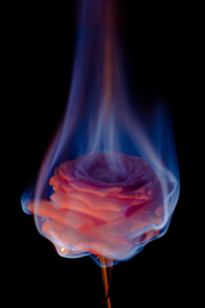 Fire flowers - Pink rose by End3avour / 500px