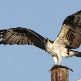 Osprey with Fish by Michael Reeves (SoonerMike88)) on 500px.com