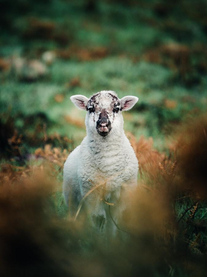 The Irish Lamb