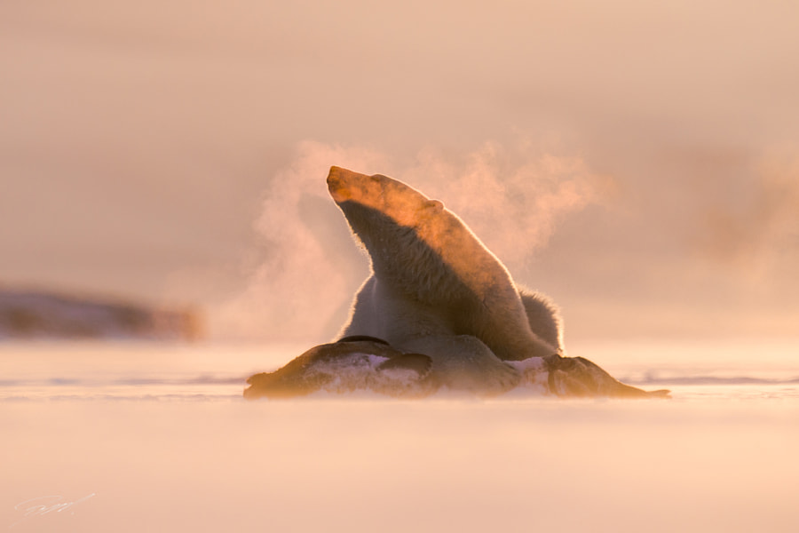 Ghost of a Polar bear by Roy Mangersnes on 500px.com
