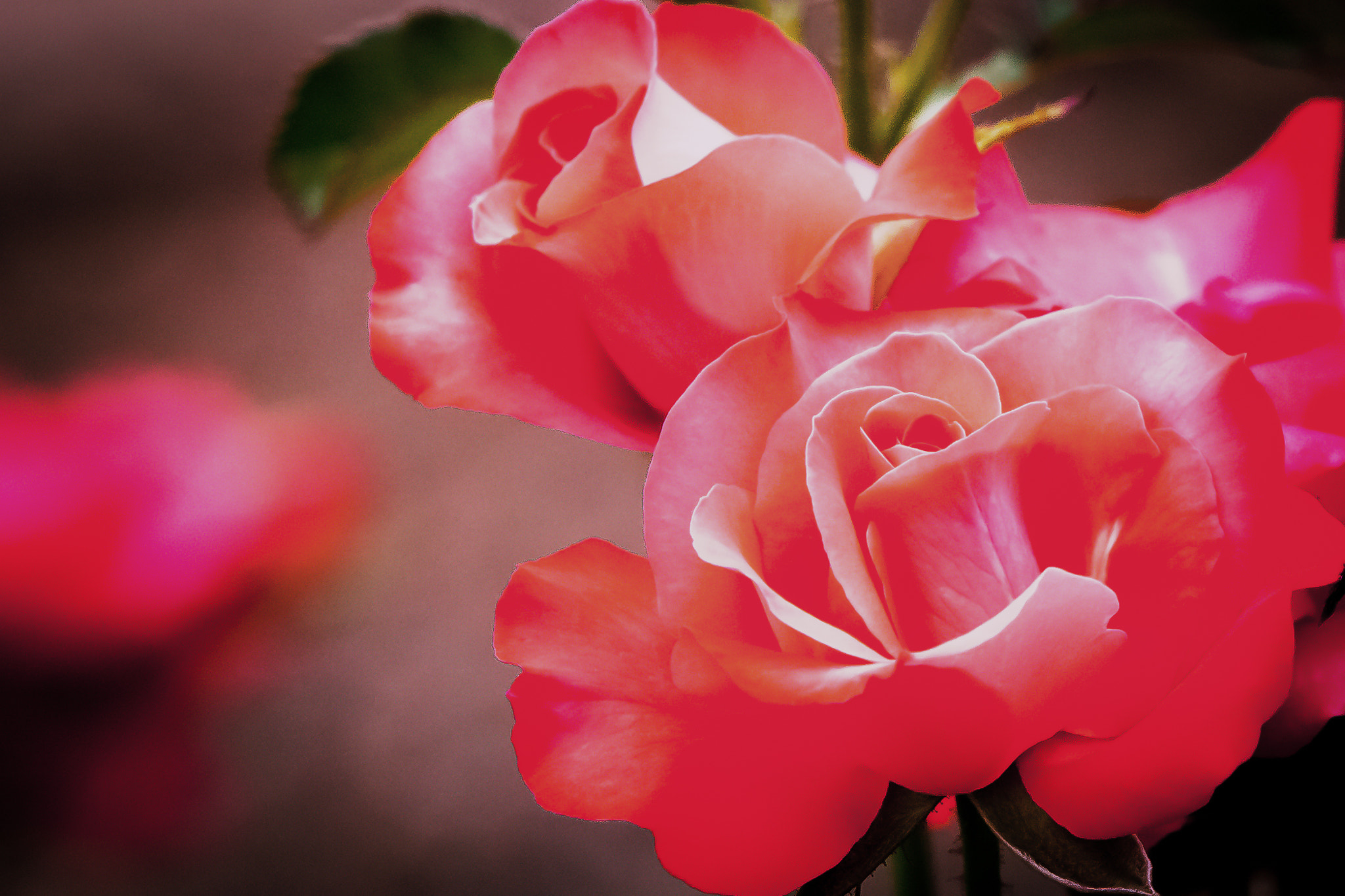 Photograph Rose by George Bloise on 500px