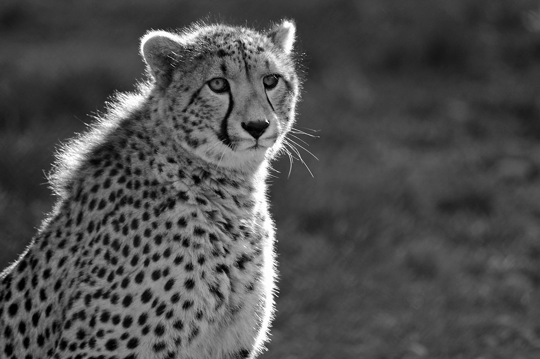 Photograph Cheetah by Ralph de Zilva on 500px