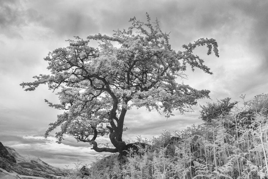 Rannerdale Tree