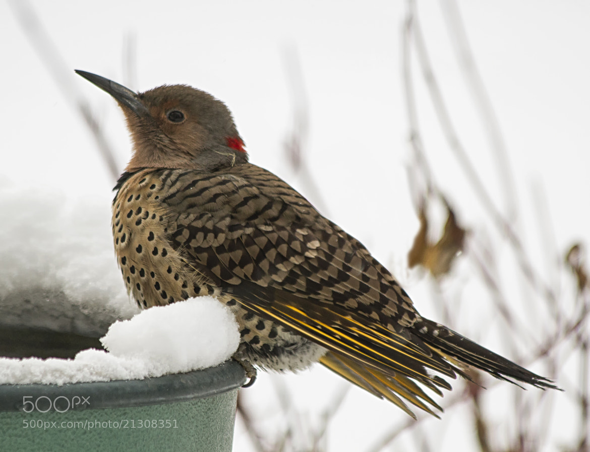 Photograph Northern Flicker by Alan du Heaume on 500px