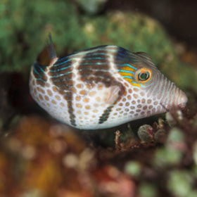 Filefish @ Philippines PG by Sardon lee (sardon9)) on 500px.com