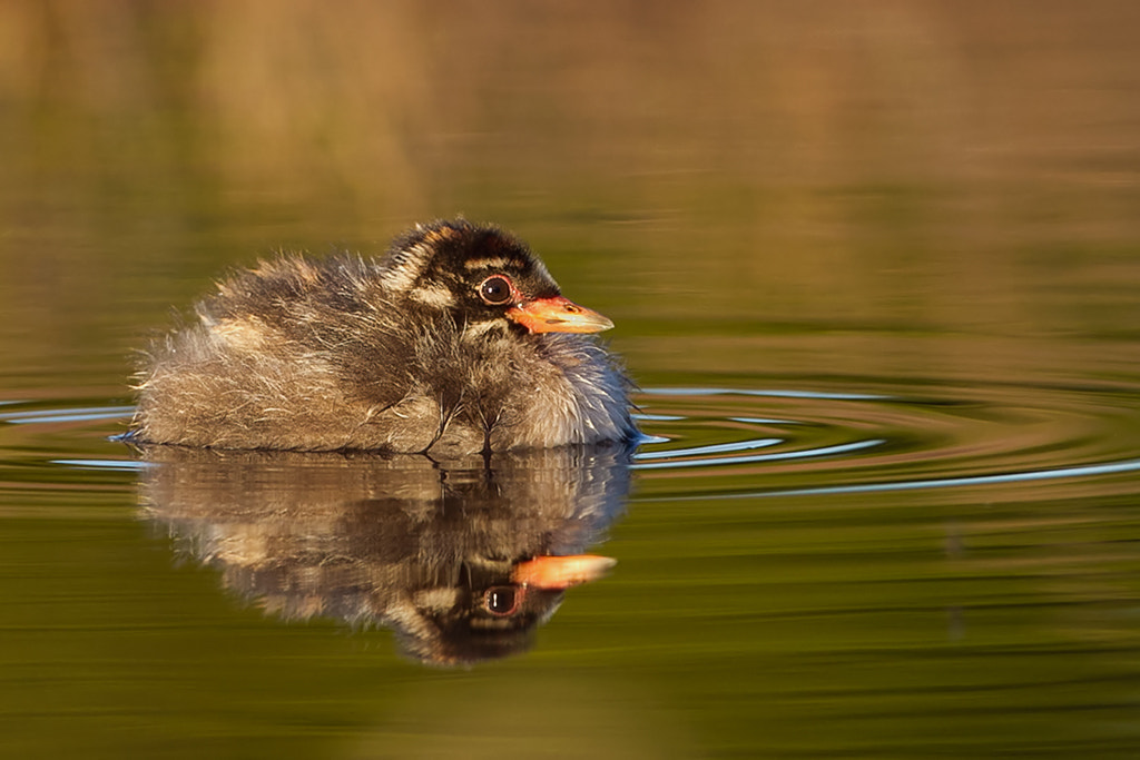 Photograph Baby Grebe. by Gregg Darling on 500px