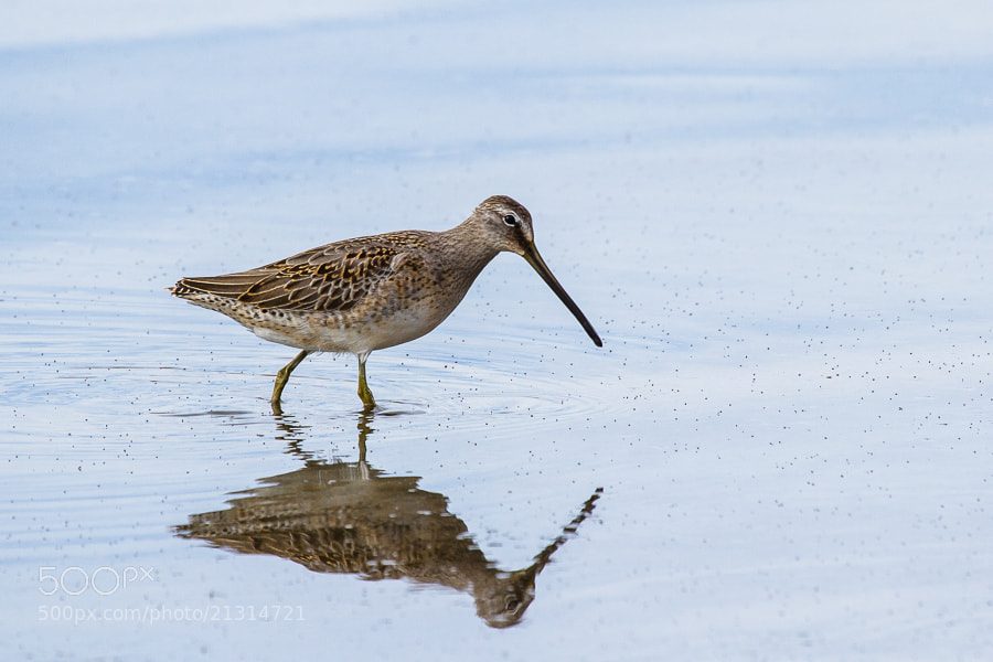 Photograph .: Long-Billed Dowitcher :. by Jon Rista on 500px