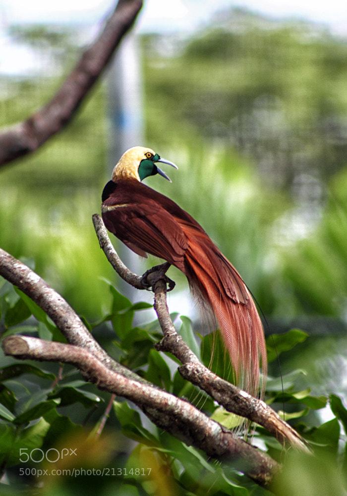 Photograph Bird of Paradise by Oliver Regondola on 500px